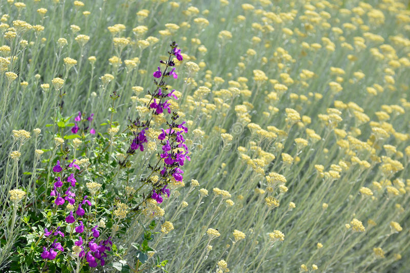 Provencal flowers. In the South of France, by a sunny springtime day stock photos