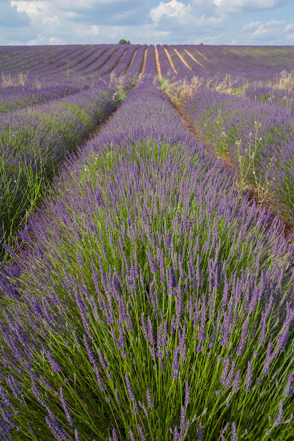 Provence, blossoming purple lavender field at Valensole France royalty free stock image