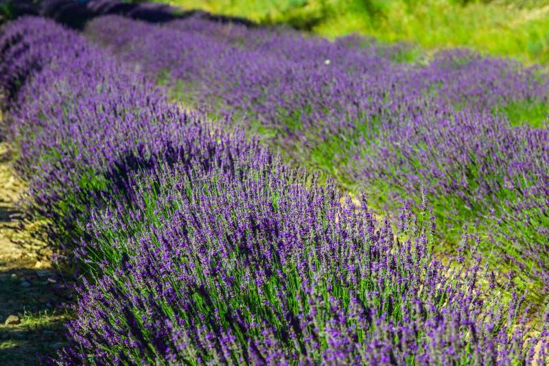 Provence - campo en el Gordes, Francia de la lavanda fotografía de archivo