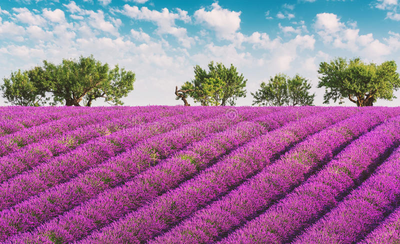 Provence lavendelfält med blå himmel och moln arkivbild