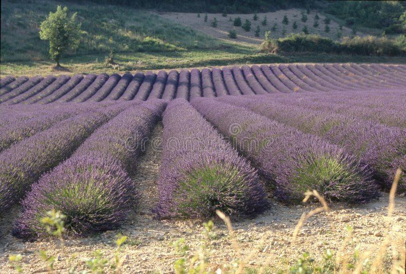 Provence-Lavendelfelder lizenzfreies stockbild