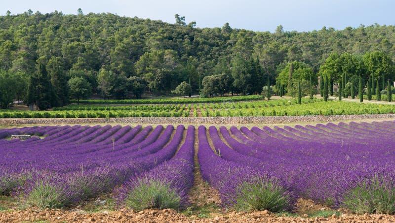 Provence - Lavendelfelder und -reben im Hintergrund stockfotografie