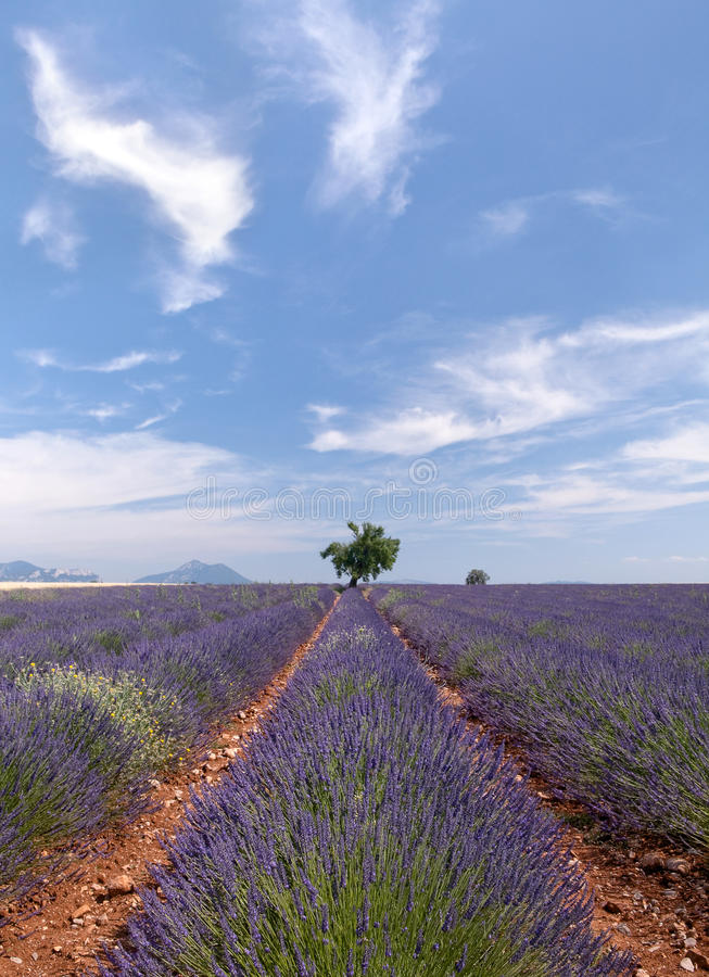 Download Provence lavender stock photo. Image of french, haute - 19176678
