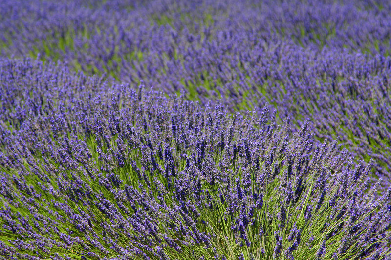 Download Provence lavender stock photo. Image of fragrance, foreign - 7132776