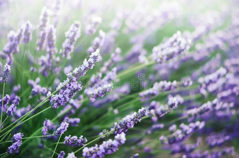 Provence nature background. Lavender field in sunlight with copy space. Macro of blooming violet lavender flowers. Summer concept, selective focus stock photo