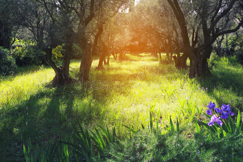 Provence: Spring sunny day in olive grove. Nature of Provence: Spring sunny day in the olive grove. Toned image royalty free stock photos