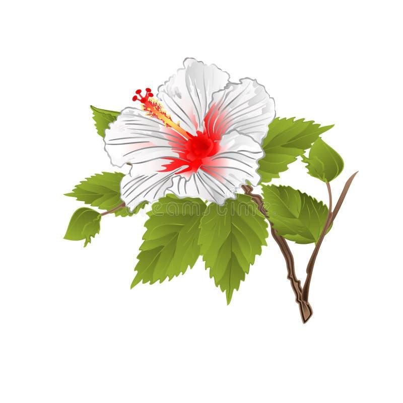 Provenga la flor tropical del hibisco blanco en un ejemplo blanco del vector del vintage del fondo editable stock de ilustración