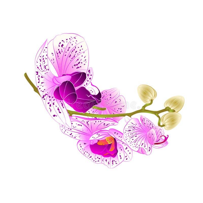 Provenha o lila bonito e o Phalaenopsis branco da orquídea em uma ilustração branca do vetor do vintage do fundo editável ilustração royalty free