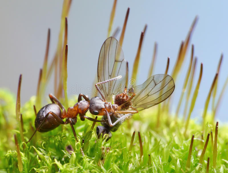 Provider ant carry dead fly stock photo
