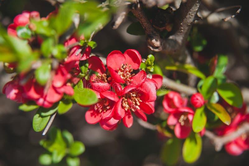Province de Chine rouge Belles fleurs de printemps Bush en fleurs photos libres de droits