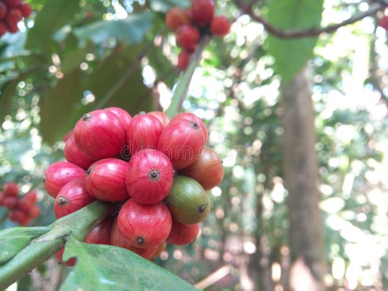 Download Province du café Plant photo stock. Image du place, fruits - 87709554