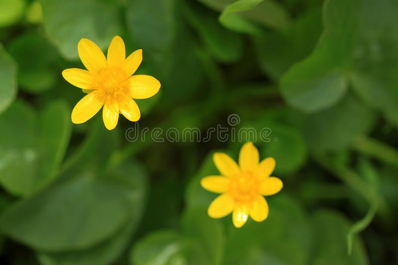 Provision-photo-ressort-fleur-fond-jaune photo libre de droits
