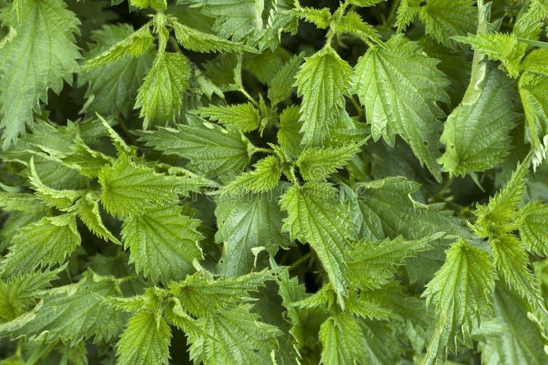 Provocação fundo verde novo da textura da provocação 'de Urtca 'da planta fotos de stock royalty free