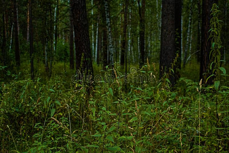 Provocação na floresta do pinho imagens de stock royalty free