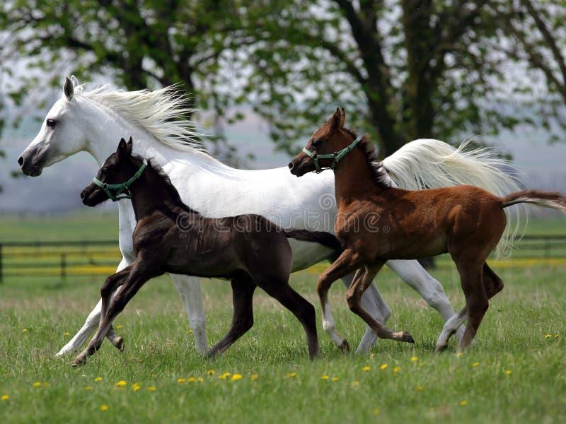 prowadzić koni obraz stock