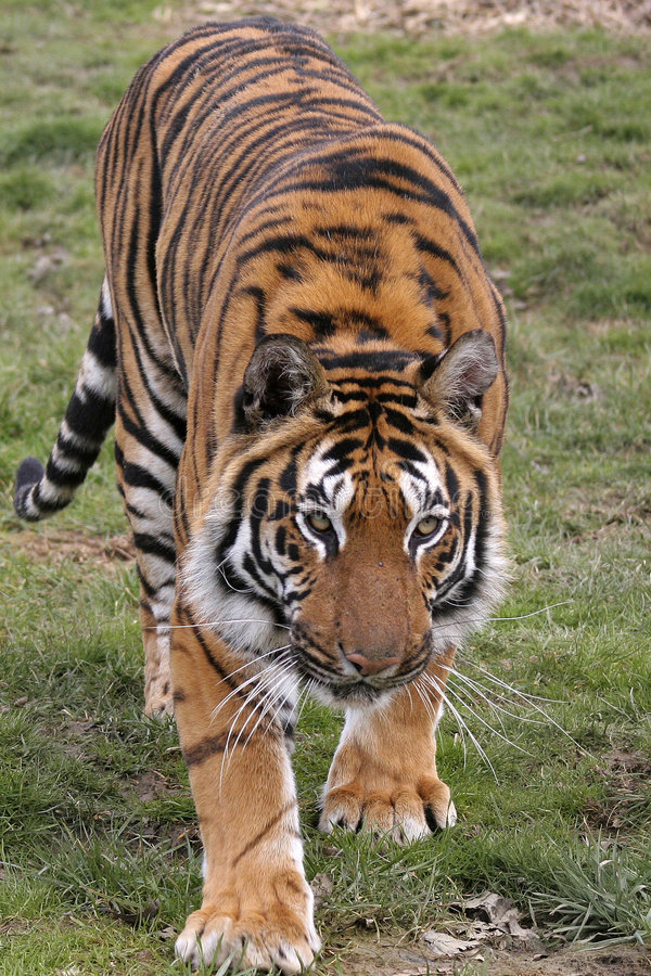Download On The Prowl stock image. Image of beauty, asia, growling - 2015401