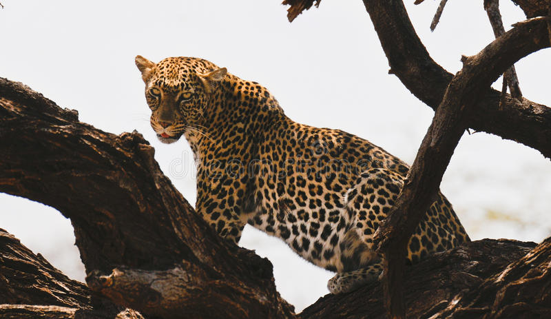 On the Prowl royalty free stock images
