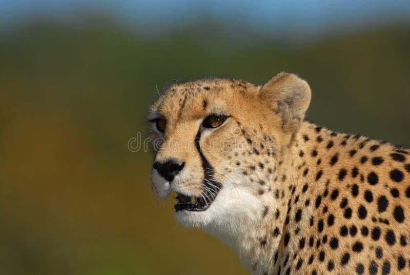 Prowl Del Ghepardo Immagini Stock Libere da Diritti