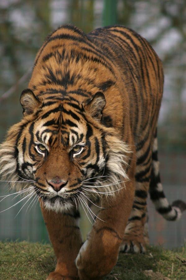prowling τίγρη στοκ εικόνες με δικαίωμα ελεύθερης χρήσης