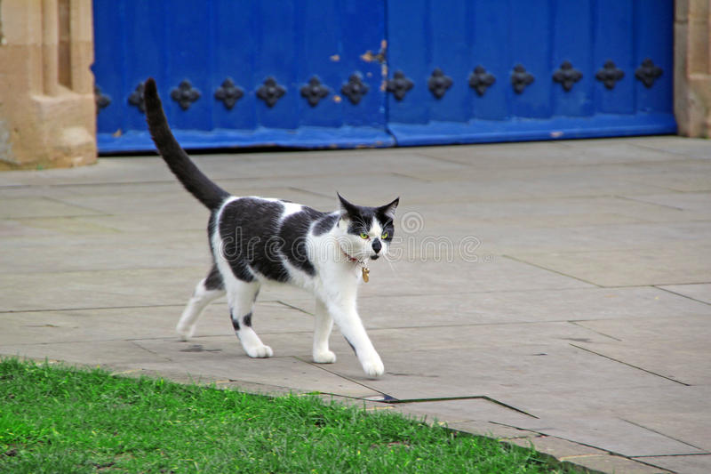prowling cat stock image