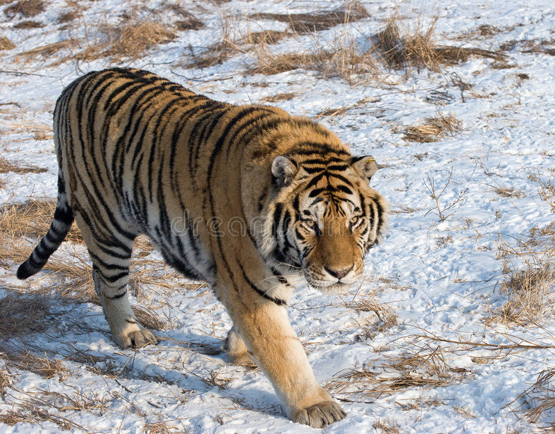 Download Prowling Siberian Tiger stock photo. Image of snow, running - 8362946