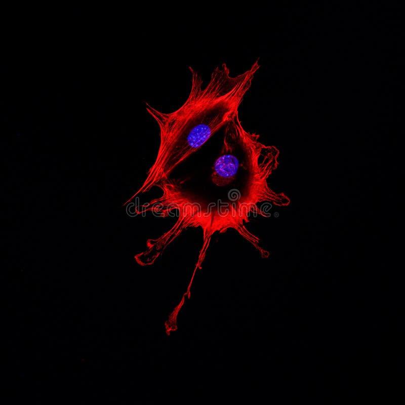 Proyección de imagen confocal de la microscopia de dos células cancerosas que tocan cada ot foto de archivo