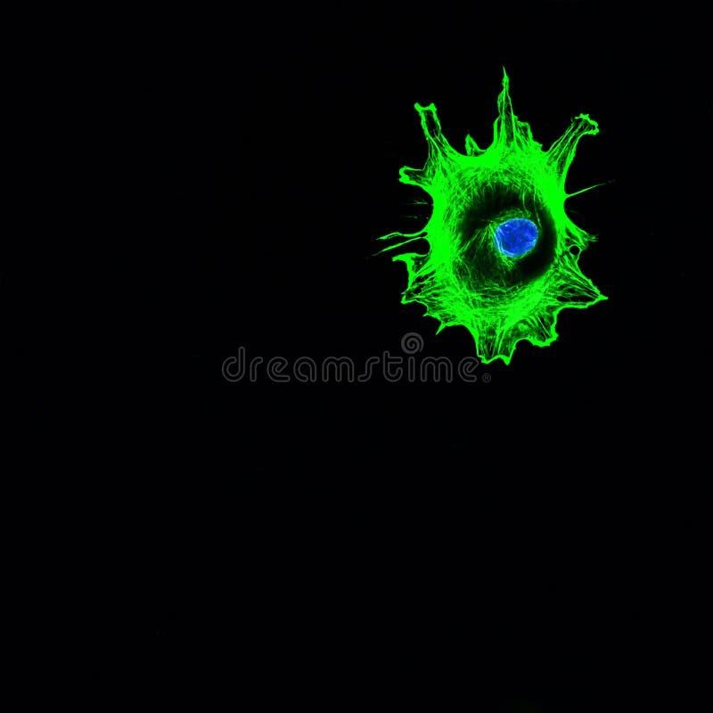 Proyección de imagen confocal de la microscopia de una sola célula cancerosa que invade imagenes de archivo