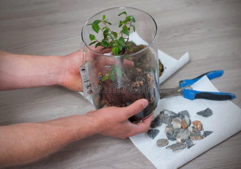 Prozess von der Bonsais im Fr?hjahr s?ubern Mannhände, die einen Bonsai in einem zylinderförmigen Glas halten, nachdem es von get lizenzfreies stockfoto