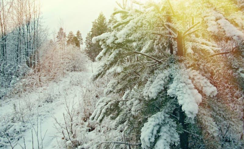 pruce Niederlassungen Snowy-Wald stockbilder
