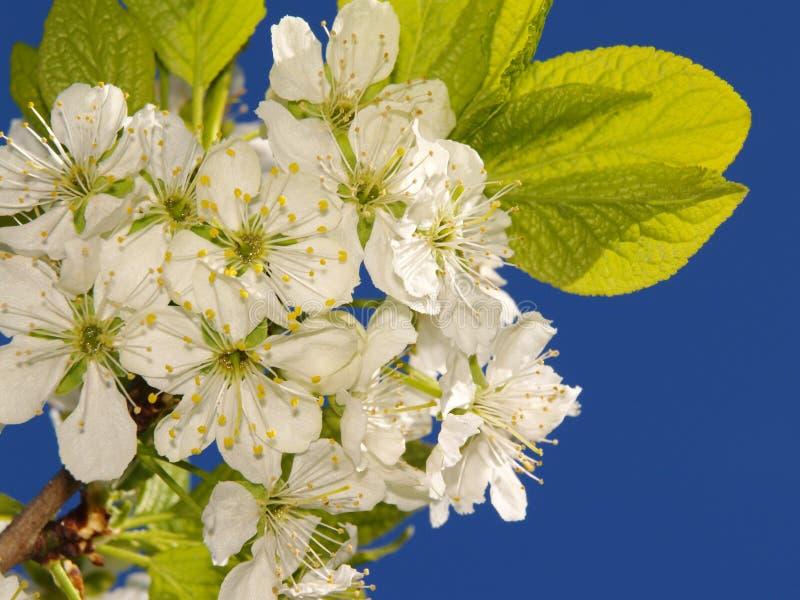 Prugna-albero con i fiori immagini stock libere da diritti