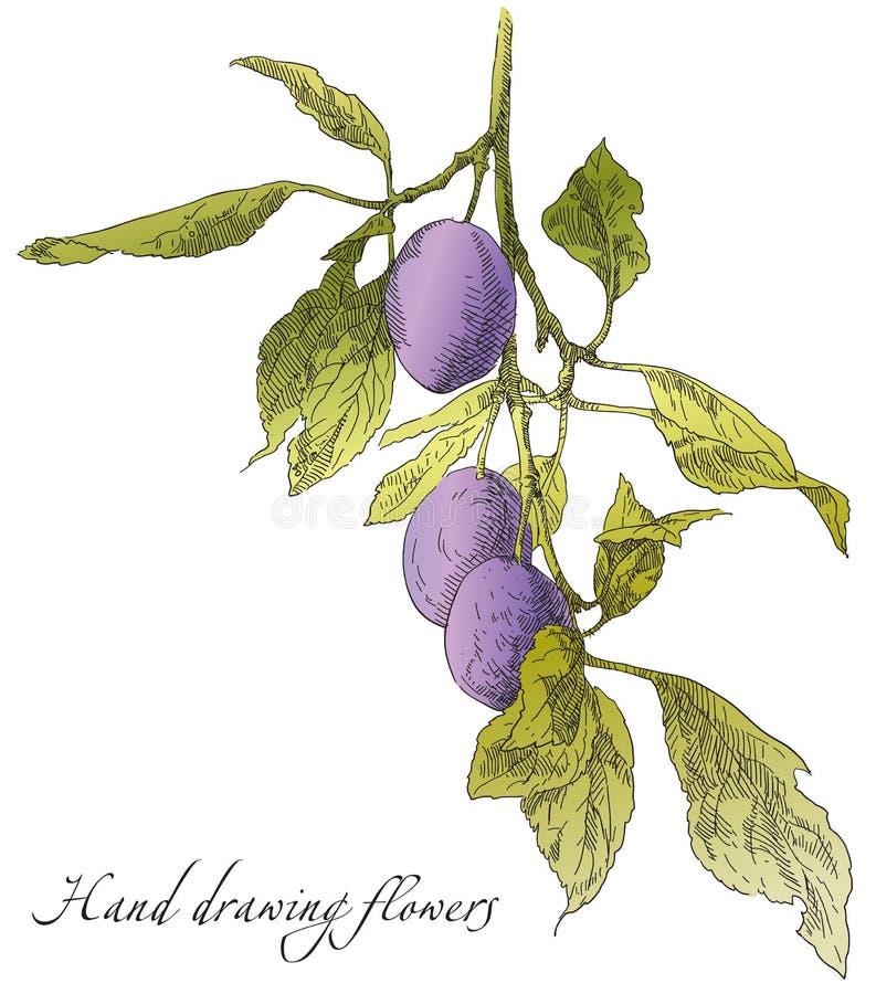 Prugna del disegno della mano sul ramo di melo royalty illustrazione gratis