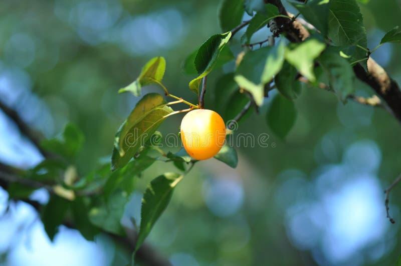 Prugna gialla fotografie stock libere da diritti