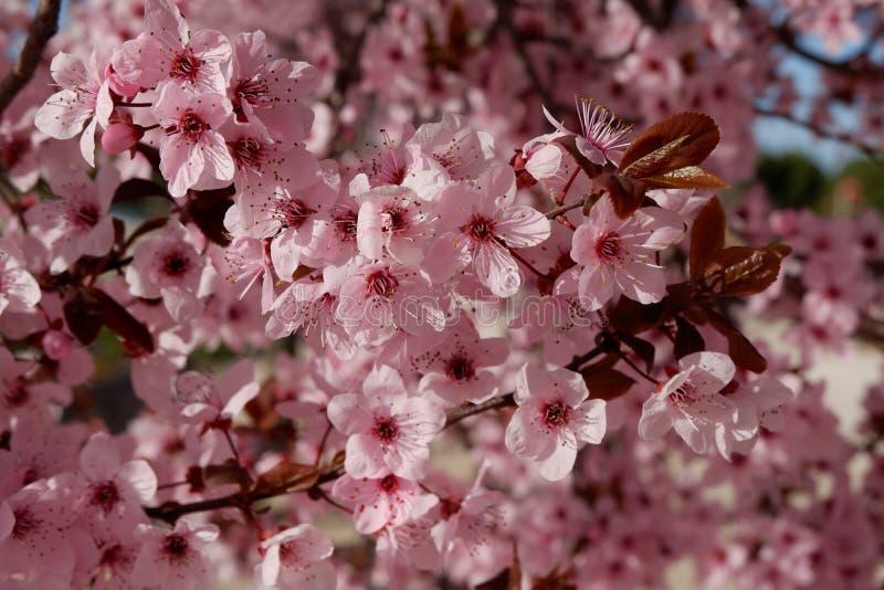 Prugna giapponese o ciliegio in fiore fotografie stock