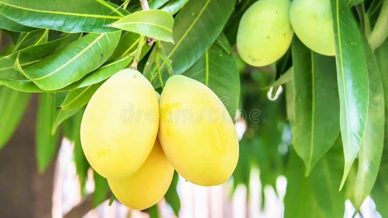 Prugna mariana gialla dolce immagini stock libere da diritti