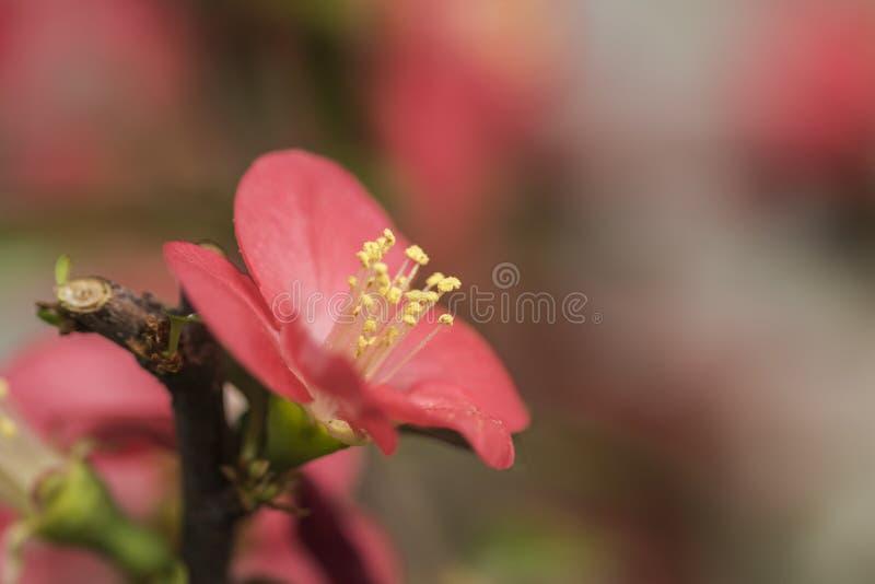 Download Prugna rossa fotografia stock. Immagine di colpo, fiore - 55352832