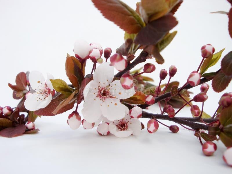 Prugna selvatica di fioritura Ramoscello sopra fotografia stock libera da diritti