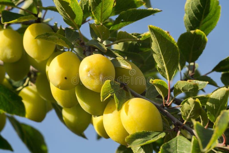 Prugne gialle mature fotografie stock libere da diritti