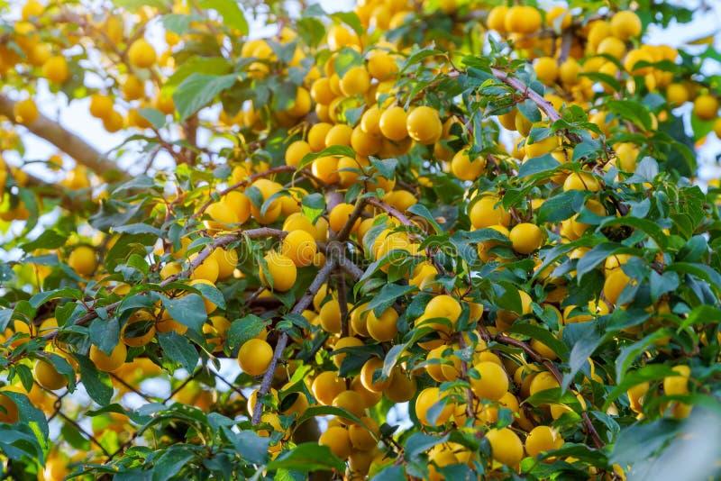 Prugne gialle mature sull'albero da frutto fotografie stock libere da diritti