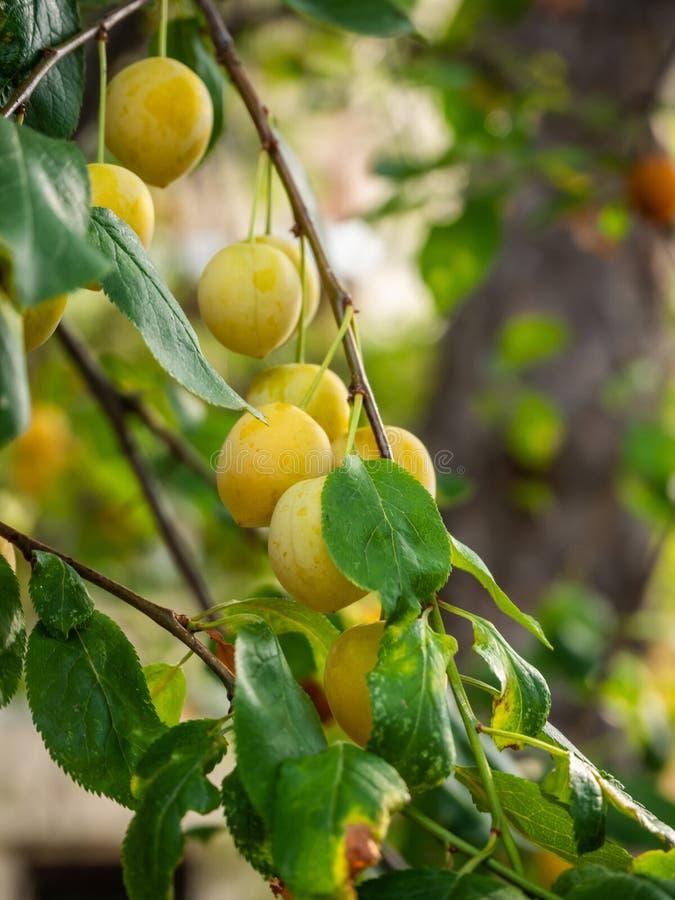 Prugne gialle saporite mature su un ramo fra il fogliame in Grecia fotografia stock