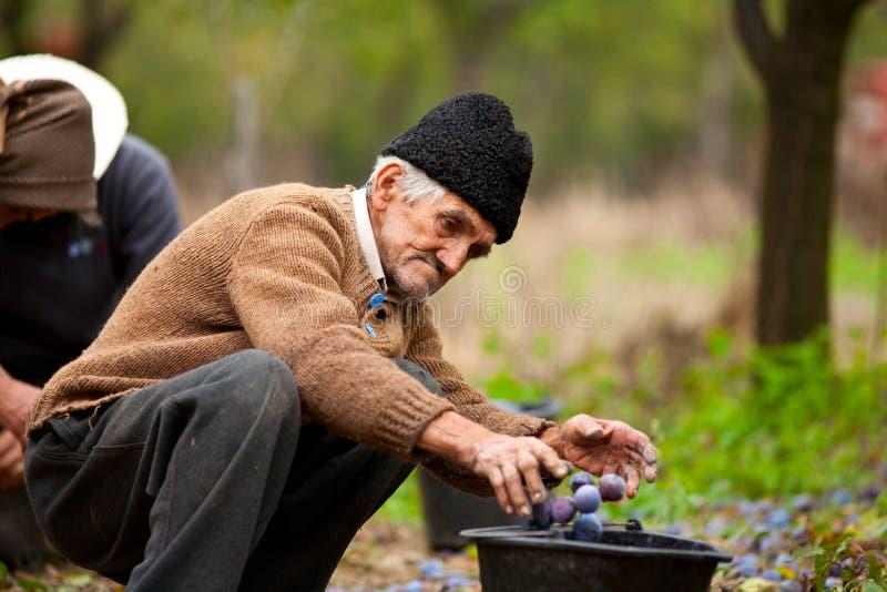 Prugne maggiori di raccolto del coltivatore fotografie stock