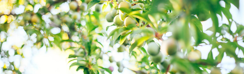prugne verdi in un fuoco selezionato giardino fotografia stock