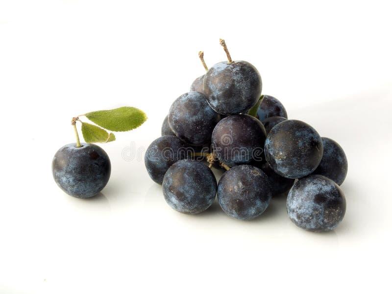 Prugnola, prunus spinosa - prugnolo su un fondo bianco fotografia stock