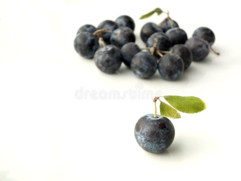 Prugnola, prunus spinosa - prugnolo su un fondo bianco immagine stock