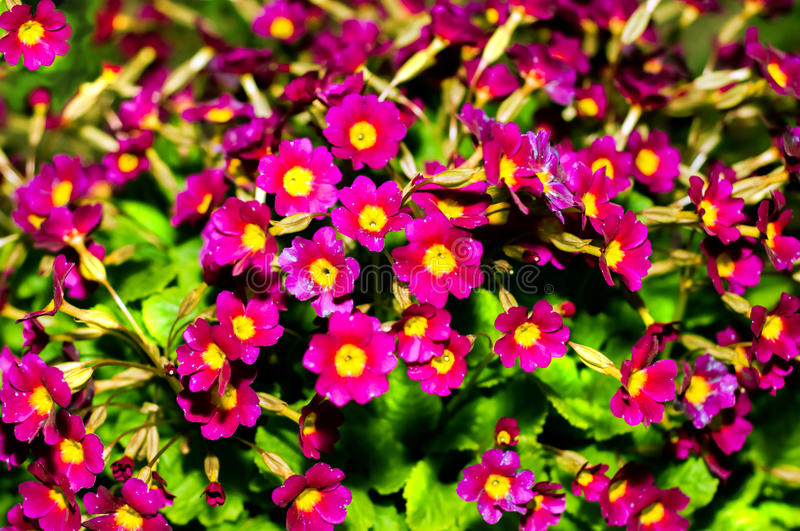 Or pruhoniciana with yellow pith. Close-up of pink flowers primrose, primula. Primula Julia Polyanthus stock images
