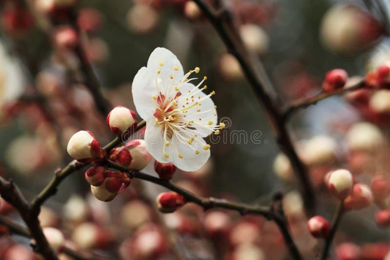 Pruim blossomï ¼ ˆArmeniaca mume F simpliciflora T Y Chenï ¼ ‰ stock fotografie