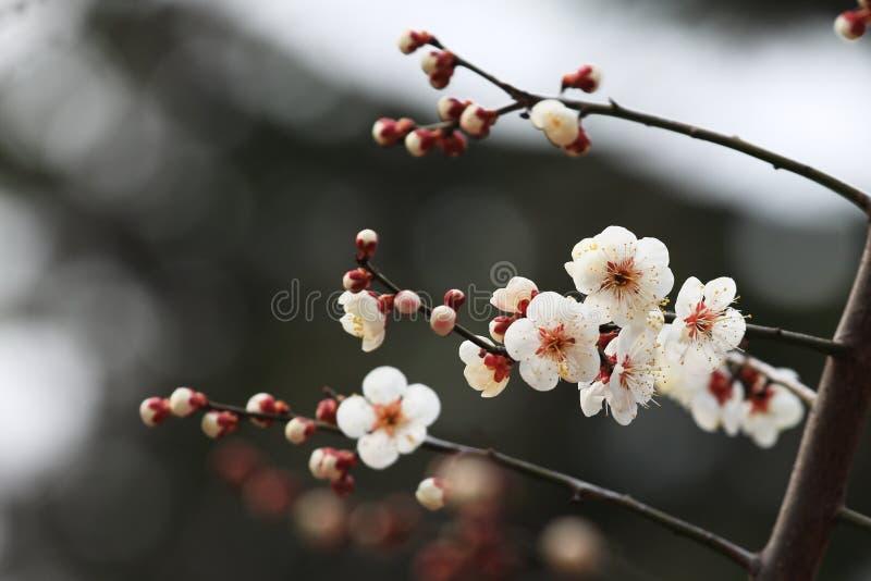 Pruim blossomï ¼ ˆArmeniaca mume F simpliciflora T Y Chenï ¼ ‰ royalty-vrije stock afbeelding