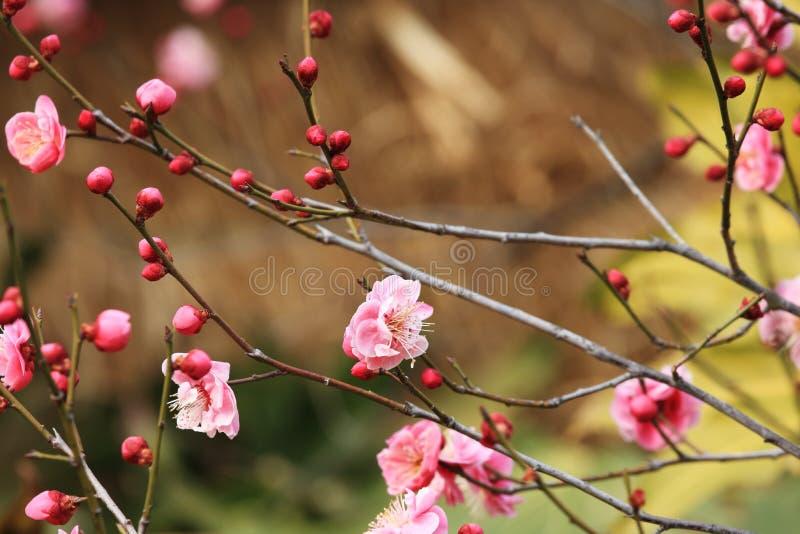 Pruim blossomï ˆArmeniaca ¼ mumef rubriflora T Y Chenï ¼ ‰ royalty-vrije stock foto's