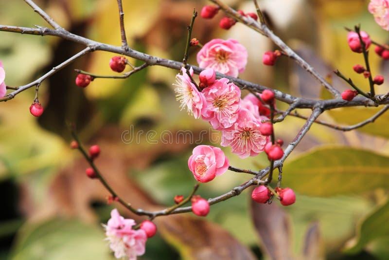 Pruim blossomï ˆArmeniaca ¼ mumef rubriflora T Y Chenï ¼ ‰ stock foto's