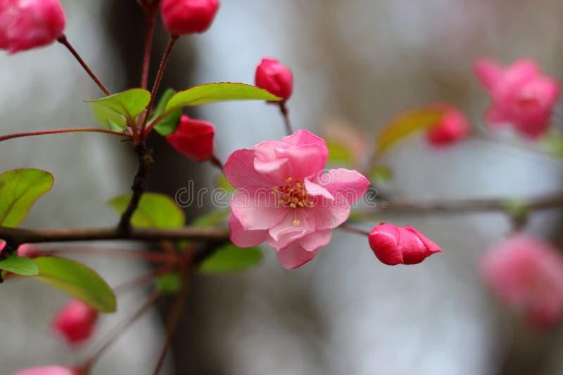 Pruim/roze/mooi/bloem/close-up stock afbeeldingen