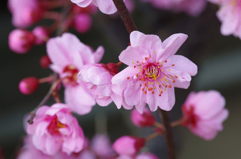 Pruimbloem het bloeien stock foto's